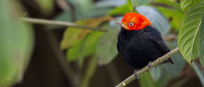 Red-capped Manakin © 2021 Authentic Travel All Rights Reserved