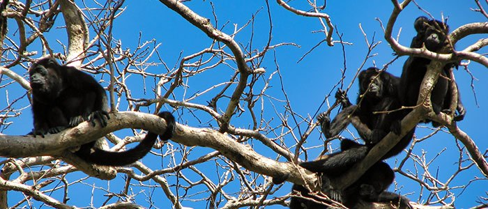 Howler Monkey © 2021 Authentic Travel All Rights Reserved