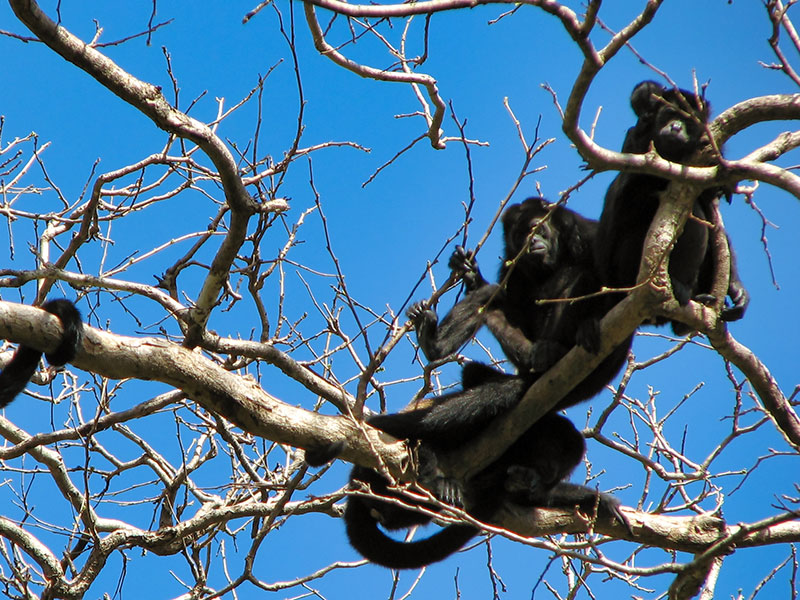 Howler Monkeys © 2021 Authentic Travel All Rights Reserved