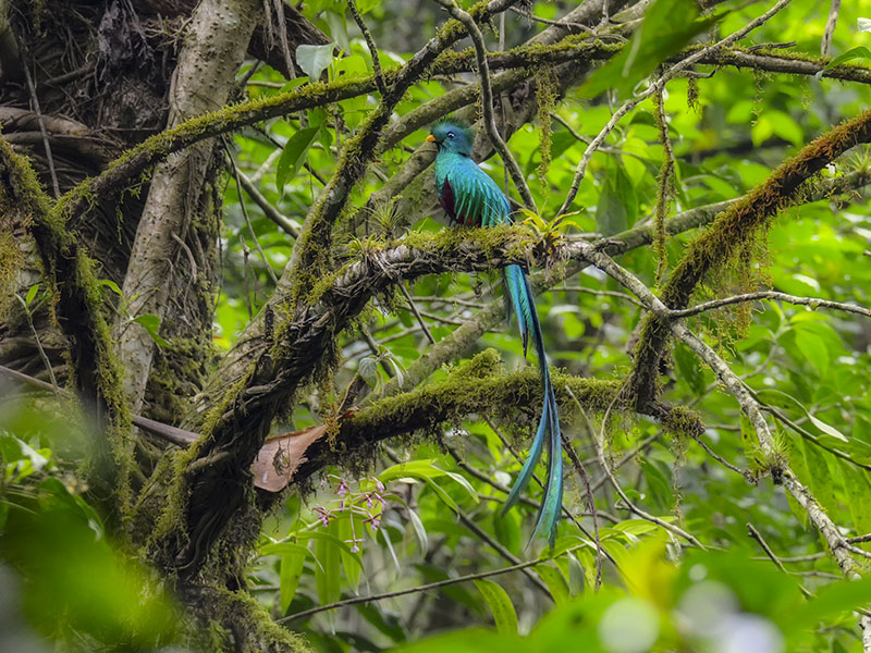 Resplendent Quetzal © 2021 Authentic Travel All Rights Reserved