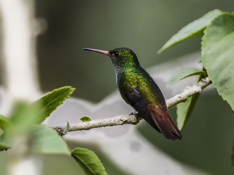 Roufus-tailed Hummingbird © 2021 Authentic Travel All Rights Reserved