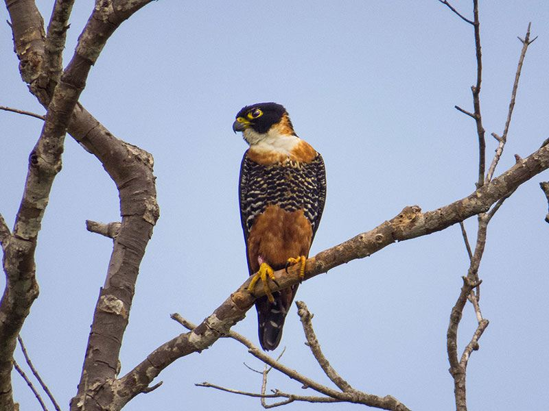 Orange Breasted Falcon © 2021 Authentic Travel All Rights Reserved